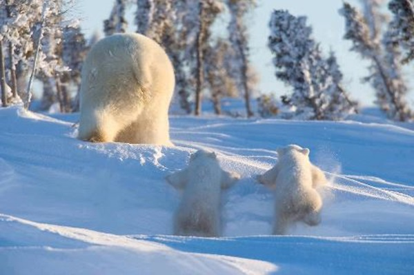 polar-bear-pictures- (17)