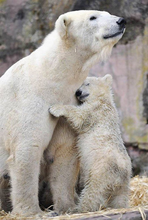 polar-bear-pictures- (18)