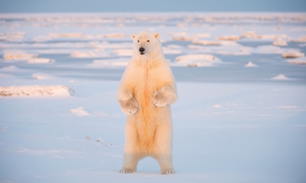 polar-bear-pictures- (2)