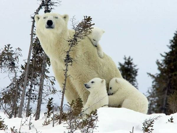 polar-bear-pictures- (20)