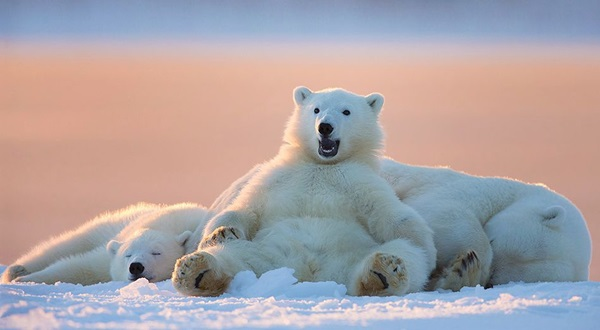 polar-bear-pictures- (21)