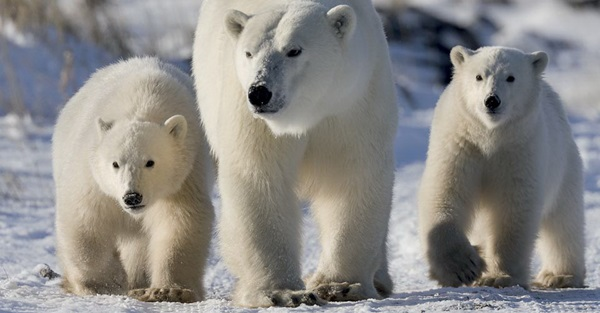 polar-bear-pictures- (22)