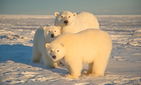 polar-bear-pictures- (23)