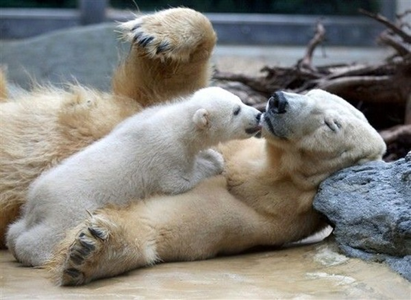 polar-bear-pictures- (24)