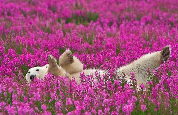 polar-bear-pictures- (3)