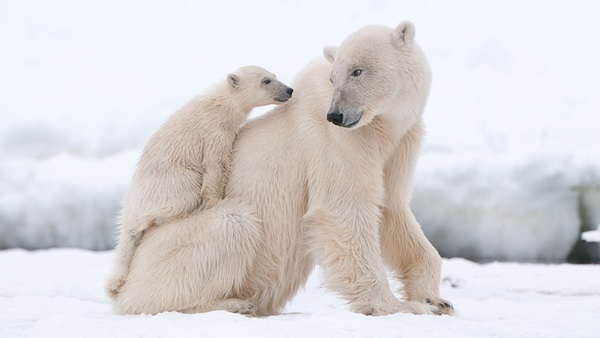 polar-bear-pictures- (4)