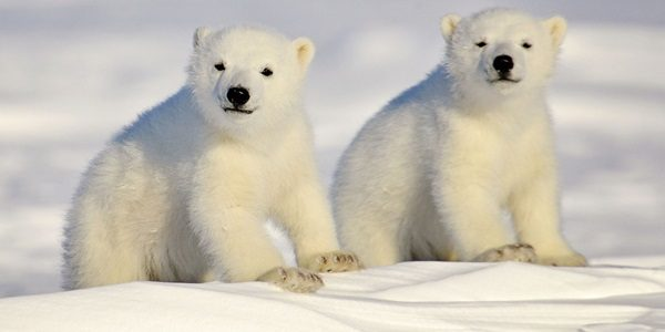 Incredible Polar Bear Pictures (25 Photos)