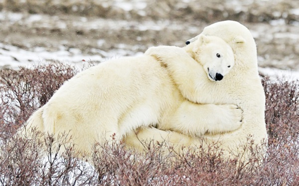 polar-bear-pictures- (7)