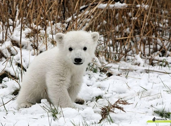 polar-bear-pictures- (8)