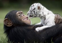unusual-animal-friendship- (1)