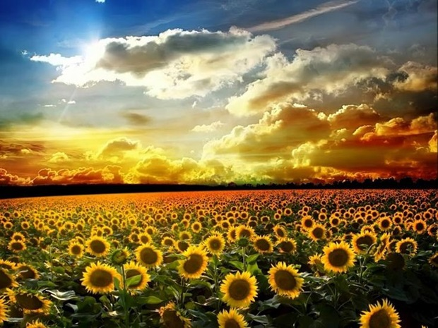 sunflower-photos- (2)