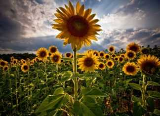sunflower-photos- (25)