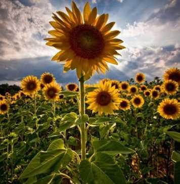 sunflower-photos- (25)