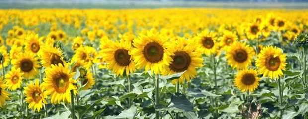 sunflower-photos- (7)