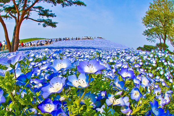 baby-blue-eyes-nemophila-hitachi-seaside-park- (1)