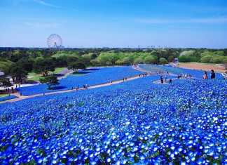 baby-blue-eyes-nemophila-hitachi-seaside-park- (2)