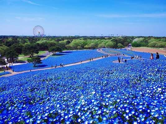 baby-blue-eyes-nemophila-hitachi-seaside-park- (2)