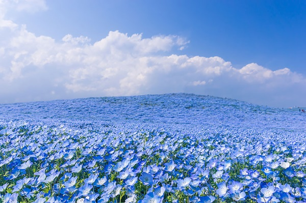 baby-blue-eyes-nemophila-hitachi-seaside-park- (4)